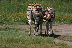 Baby Zebra Nurses. Mother and baby zebra in grassland Stock Photo
