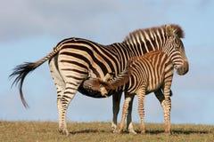 Baby Zebra Nursing Stock Images