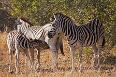 Baby Zebra Nursing Royalty Free Stock Images