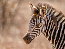 Baby zebra portrait with oxpecker. This juvenile was seen in the Kruger National Park South Africa with an oxpecker on its neck, eating ticks Stock Photography