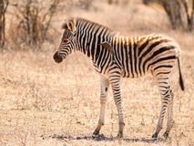Baby zebra with oxpecker. This zebra was only a few days old, but already had ticks as seen by the oxpecker Royalty Free Stock Photography