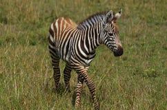 Baby zebra. Photographed during safari Royalty Free Stock Photos