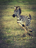 Baby zebra playing Royalty Free Stock Photos