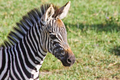 Baby Zebra Portrait. Zebra foal in Ngorongoro Conservation Area, Tanzania royalty free stock photography