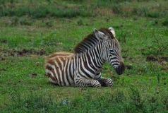 Baby Zebra (Equus quagga) Resting. Royalty Free Stock Image