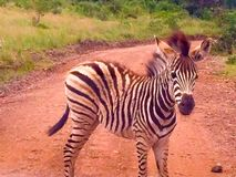 Baby Zebra on road in Africa Royalty Free Stock Photo