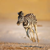 Baby zebra running. Close-up of a young zebra running on rocky plains of Etosha Royalty Free Stock Images