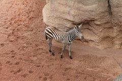 Baby zebra, sand and rocks Stock Photo