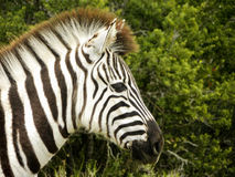 Baby Zebra Royalty Free Stock Images