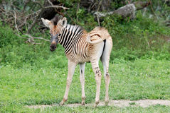 Baby zebra Royalty Free Stock Image