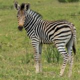 Baby zebra standing alone looking at its mother Stock Photos