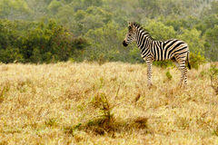 Baby Zebra standing in the field Royalty Free Stock Image