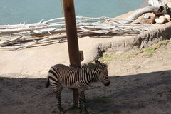 Baby Zebra standing in the shade. A baby zebra stands in the shade near a pond surrounded by driftwood Royalty Free Stock Images