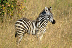 Baby zebra standing Royalty Free Stock Photography