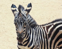 A Baby Zebra Stands in an African Desert Stock Image