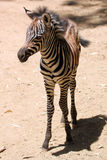 A Baby Zebra Stands on His Long Skinny Legs Royalty Free Stock Image