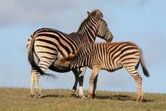 Baby Zebra Suckling Stock Photography