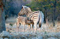 Baby zebra suckling from its mother Royalty Free Stock Photos