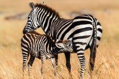 Baby Zebra suckling, Masai Mara Royalty Free Stock Images