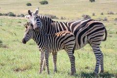 Baby-Zebra und Mutter Stockbild