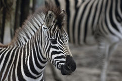 Baby Zebra With Mother Royalty Free Stock Photo