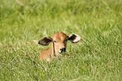 Baby Zebu Royalty Free Stock Photo