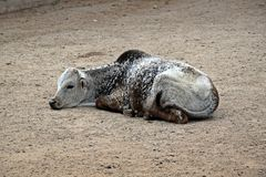 Baby Zebu Lying on Ground stock photos