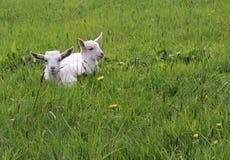 Baby-Ziegen Lizenzfreies Stockfoto