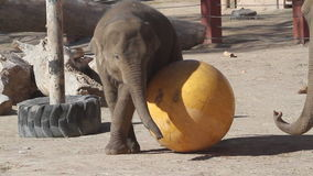 Baby zoo elephant plays with a big yellow ball