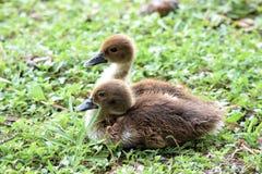 Baby Zwart Doen zwellen Fluitend Duck Ducklings stock afbeeldingen