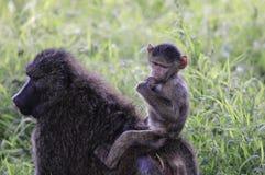 Babyaap die op rug van moeder berijden royalty-vrije stock afbeelding