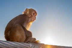 Babyaffe, der auf dem Zaun der Brücke in Rishikesh, Uttarakhand, Indien sitzt Lizenzfreies Stockfoto