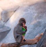 Babyaffe, der auf einem Baumast sitzt Lizenzfreie Stockfotografie