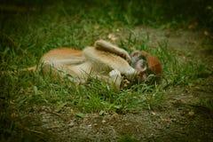 Babyaffe, der aus den Grund in der Gefangenschaft mit rotem Kopf legt lizenzfreie stockbilder