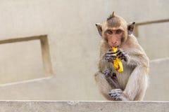 Babyaffe, der Banane auf dem konkreten Zement sitzt und isst Stockbild