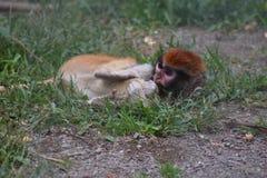 Babyaffe, der in das Gras in der Gefangenschaft mit rotem Kopf legt stockfoto