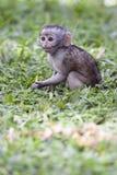 Babyaffe, der im Gras sitzt Stockfotos
