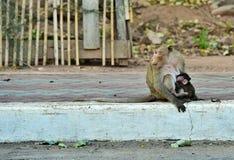 Babyaffe, der Milch von der Mutterbrust isst Stockfotos