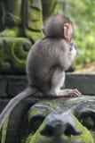 Babyaffe am heiligen Affewald, Ubud, Bali, Indonesien Lizenzfreie Stockfotos