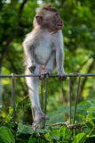 Babyaffe am heiligen Affewald, Ubud, Bali, Indonesien Lizenzfreie Stockbilder