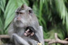 Babyaffe mit seiner Mutter Stockfotografie