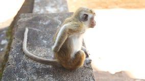 Babyaffe in Sigiriya, ein alter Palast gelegen im zentralen Matale-Bezirk stock footage