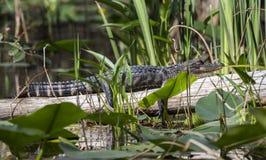 Babyalligator die op login het Okefenokee-Moeras zonnen stock fotografie