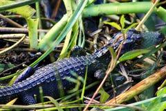 Babyalligator in gras stock foto's