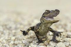 Babyalligatorangriff Stockfotografie