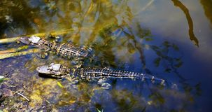 Babyalligators die in een Everglades-vijver langs Monroe Junction rusten royalty-vrije stock afbeelding