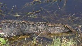 Babyalligators op hun moederhoofd stock videobeelden