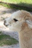 Babyalpaca Royalty-vrije Stock Afbeeldingen