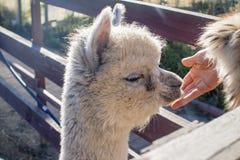 Babyalpaca Stock Afbeeldingen