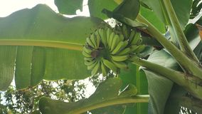 Babybananen in der Bananenstaude stock footage